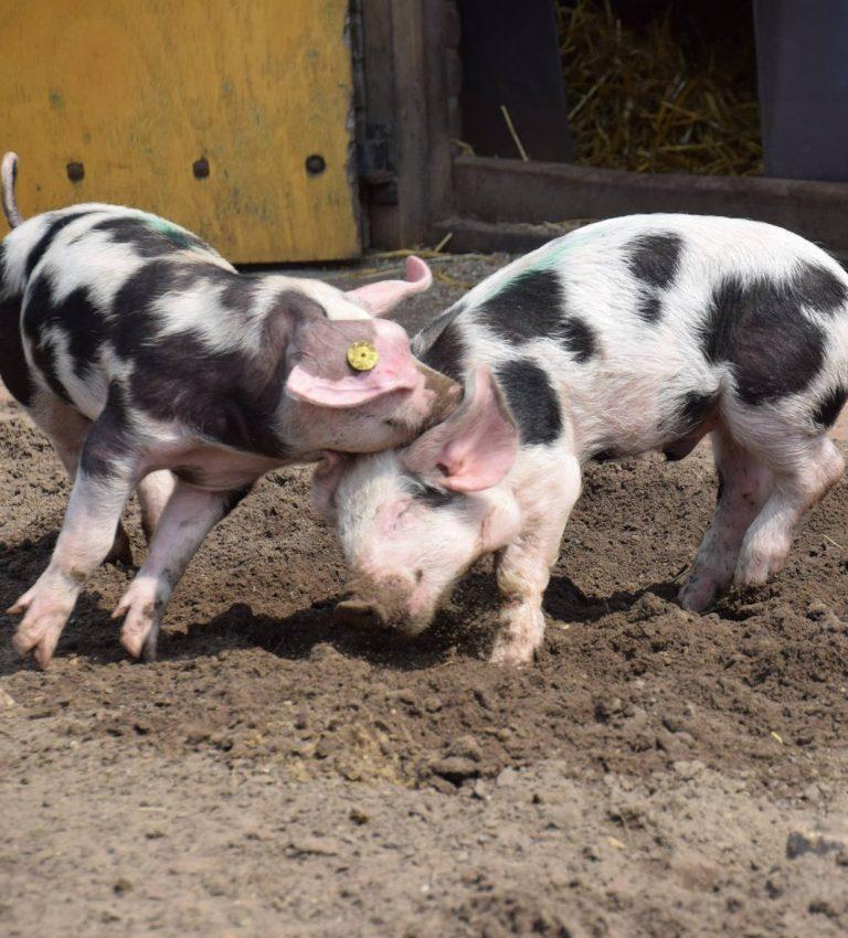Varkens - NME-Centrum en Kinderboerderij De Elzenhoek