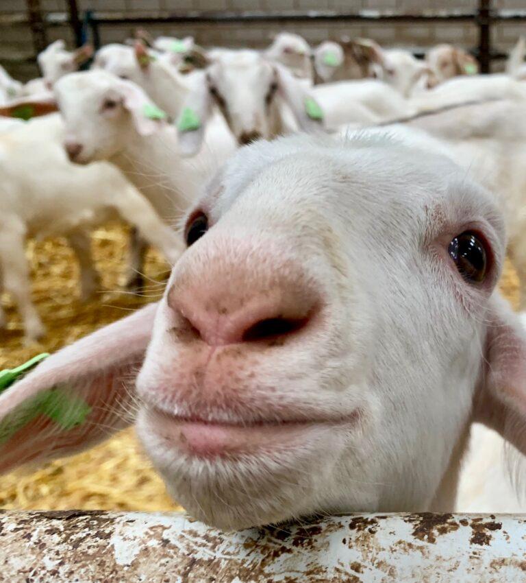 Witte melk geiten snuitje